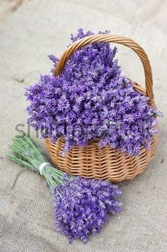 Shop for Lavender Seeds by the Packet or Pound.Com offers Hundreds of Seed Varieties, Including the Finest and Freshest Lavender Seeds Anywhere. Lavender Seeds, Lavender Cottage, Lavender Garden, Lavander, Lavender Blue, Lavender Flowers, Purple Flowers, Beautiful Flowers, Planting Lavender