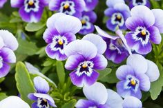 How to Care for Pansy Flowers