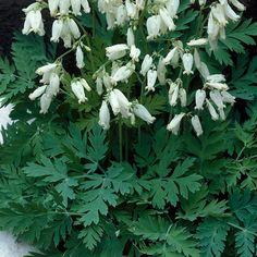 Kevätpikkusydän Alba - Dicentra eximia Moon Garden, Annual Plants, Back Gardens, Trees To Plant, Perennials, Planting Flowers, Flora, Herbs, Spring