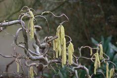 Corylus avellana 'contorta'.(common hazel member of birch family) Large deciduous upright tree like shrub with broadly heart shaped toothed mid green leaves. Full sun / part shade. Well drained or moist but well drained chalky soil. 5 x 5 m. From Europe/Turkey.