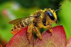Native bee covered with pollen