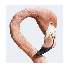 TROWBRIDGE - Red Flamingo - <p>Photographer Herbert Kehrer took this close up of a Red Flamingo.</p><p><b>This image is also available in a smaller size <a href='http://www.trowbridgegallery.com/display-set.php?SetCode=TACQ' >Click Here </a> to view</b></p></br></br> in Contemporary white with linen slip (Frame Code: 612L)