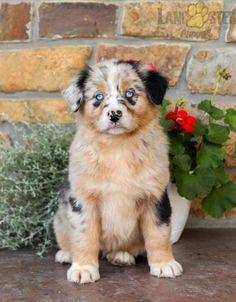 #AustralianShepherd #Charming #PinterestPuppies #PuppiesOfPinterest #Puppy #Puppies #Pups #Pup #Funloving #Sweet #PuppyLove #Cute #Cuddly #Adorable #ForTheLoveOfADog #MansBestFriend #Animals #Dog #Pet #Pets #ChildrenFriendly #PuppyandChildren #ChildandPuppy #LancasterPuppies www.LancasterPuppies.com Animals Dog, Cute Animals, Australian Shepherd Puppies, Lancaster Puppies, Puppies For Sale, Mans Best Friend, Puppy Love, Pets, Sweet