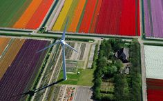 Colorful Aerial View of Blossoming Tulip Fields - My Modern Metropolis