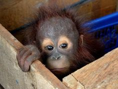 A three-month-old orangutan peeks out from inside a wooden box in East Kutai, East Kalimantan province, Indonesia; it had been sepaated from its mother. (Photo: AFP-Getty via the New York Post)