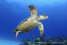 Hawksbill sea turtle, eretmochelys