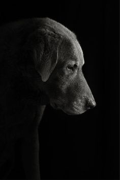 a beautiful Labrador. Baby Dogs, Pet Dogs, Dogs And Puppies, Dog Cat, Doggies, Animals Beautiful, Cute Animals, Dog Portraits, Dog Photos