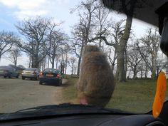 Monkey On Car. Knowsley Safari Park.