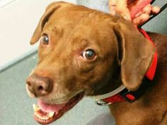 TO BE DESTROYED - 11/01/14 Brooklyn Center  My name is CHANCE. My Animal ID # is A1018796. I am a male chocolate and white labrador retr mix. The shelter thinks I am about 7 YEARS old.  I came in the shelter as a OWNER SUR on 10/26/2014 from NY 11226, owner surrender reason stated was OWNER SICK.  https://m.facebook.com/photo.php?fbid=895051710507709&id=152876678058553&set=a.611290788883804.1073741851.152876678058553&source=46&ref=stream