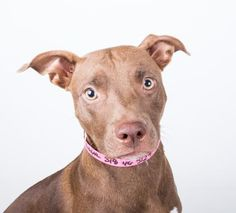 10/1/16 Meet Latte, an adoptable Pit Bull Terrier looking for a forever home. If you're looking for a new pet to adopt or want information on how to get involved with adoptable pets, Petfinder.com is a great resource.