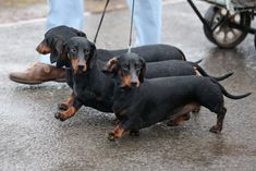 but isn't this a dog show? Classy canine arrives for first day of Crufts sporting a tiger print onesie Dapple Dachshund, Dachshund Puppies, Dachshund Love, Corgi Dog, Daschund, Chihuahua Dogs, Purebred Dogs, Weenie Dogs, Puppy Face