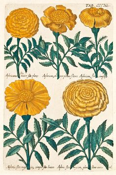African marigolds, hand-coloured copperplate engraving published by Michael Valentini (1657-1729)