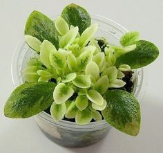 growing african violets from leaf cuttings