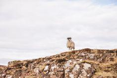 mouton en liberté en Ecosse