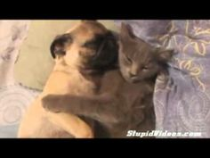 Snoring pug sleeps in cat's paws ! :) #cute