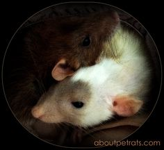 Love Rats ::: Rats Love ~ Always have more than one pet rat...
