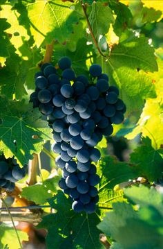 Bordeaux Vineyards, Rare Wine, Best Red Wine, Bordeaux Wine, Wine Guide, Beautiful Nature Pictures, French Wine, Red Grapes, Cabernet Sauvignon