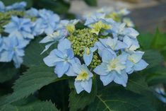 Proven Winners - Tuff Stuff Ah-Ha® - Reblooming Mountain Hydrangea - Hydrangea serrata blue pink pink or blue plant details, information and resources. Colorful Flowers, Blue Flowers, Beautiful Flowers, Silk Flowers, Garden Shrubs, Garden Plants, Bloomstruck Hydrangea, Hydrangea Serrata, Flower Garden Plans