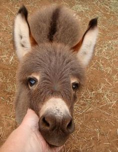Dwarf Donkey or Miniature Donkey is enjoyable loving, cheerful, loyal and superiorly intelligent. So let's jump into some surprising mini donkey facts Baby Donkey, Cute Donkey, Mini Donkey, Baby Cows, Baby Elephants, Elephant Baby, Cute Baby Animals, Animals And Pets, Funny Animals