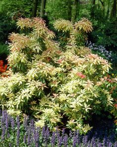 Lily-of-the-valley bush 'Forest Flame' • Pieris japonica 'Forest ...