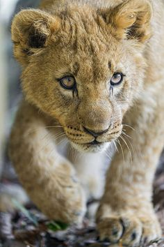 Lion cub (by Tambako The Jaguar) Pretty Cats, Beautiful Cats, Animals Beautiful, Big Cats, Cats And Kittens, Cute Cats, Animals Amazing, Majestic Animals, Lion Pictures