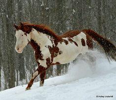 Thinkin Strait - APHA Chestnut Overo Paint Horse Stallion running in the snow