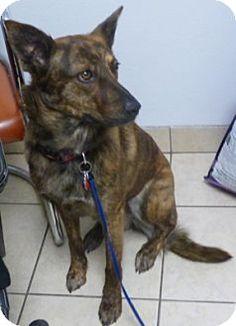 Parma, OH - Dutch Shepherd Mix. Meet Suri, a dog for adoption. http://www.adoptapet.com/pet/18252829-parma-ohio-dutch-shepherd-mix