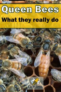 What is the role of a queen bee? Does she make colony decisions or is that the task of other bees in the hive? How To Start Beekeeping, Beekeeping For Beginners, What Is Homestead, Homestead Living, Honey Extractor, Bee Swarm, Small Backyard Gardens, Small Backyards, Bee Do