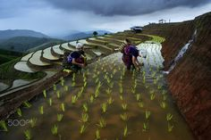 Terrace rice field - Pa pong peing terrace rice field in Chaingmai Thailand