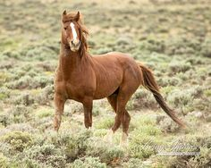 This wild sorrel stallion is in Adobe Town, and in Wild Hoofbeats: America's Vanishing Wild Horses  www.LivingImagesCJW.com