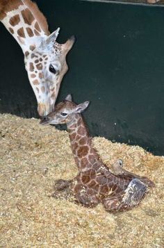 A rare Rothschild giraffe was born at a Connecticut conservation center. When fully grown, the giraffe could reach 18 feet in height. (via Greenwich Time)