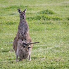 Kangaroo & Joey There's always that one child! A mother roo and her joey, part of the mob of wild kangaroos that roams our property. Animal Facts, Animal Memes, Animal Tatoos, Image Mom, Animals Information, Disney Beauty And The Beast, Best Pillow, Cute Photos, Wildlife Photography