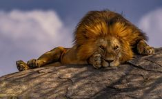 A male lion stares into the camera while resting in Tanzania's Serengeti National Park in this National Geographic Your Shot Photo of the Day. Photo Animaliere, Shot Photo, National Geographic Photography, National Geographic Photos, National Geographic Animals, Wildlife Photography, Animal Photography, Tanzania, Big Cats