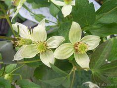 Korean Clematis Flowers Image