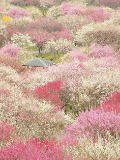 Photographer Koji captures the beauty of Japan's cherry blossom season in full bloom, showing the landscape covered with blankets of beautiful pink flowers. Plum Garden, Japanese Colors, Cherry Blossom Season, Parcs, Belleza Natural, National Geographic Photos, Ikebana, Japan Travel, Beautiful Gardens