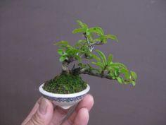 盆栽:フェイスブックに載せた写真より|春嘉の盆栽工房