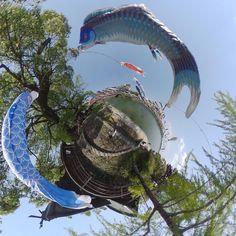 #川上峡 の #鯉のぼり