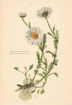 1954 Oxeye daisy Antique Print Vintage Lithograph by Craftissimo, €12.95