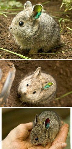 look, miniature bunnies!Netherland Dwarf wht the fudge Extinct Animals, Rare Animals, Cute Baby Animals, Animals And Pets, Cute Creatures, Beautiful Creatures, Animals Beautiful, Dwarf Rabbit, Dwarf Bunnies