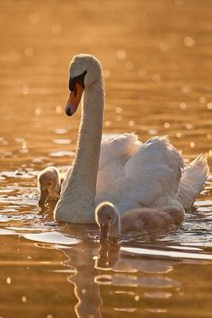 ♡ Swan