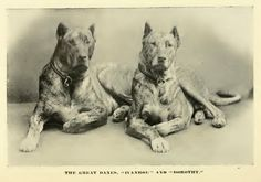 """Ivanhoe"" and ""Dorothy"", 1890.  Early Dane's.  Again notice the similarity to some of the Bandogge's I like."