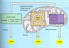 Cellular respiration is so important because it releases chemical energy that is stored in the food and keeps organisms to be healthy and active.
