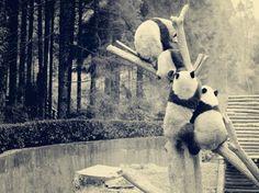 Panda #viqua