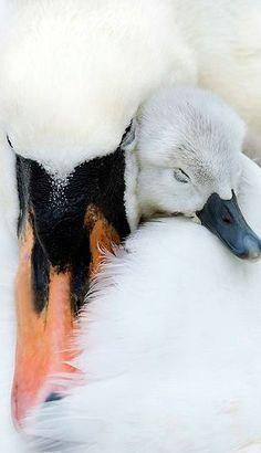 I love mute swans / mom and chic