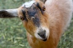 Homestead Revival: Feeders and Water for Goats