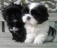 . Shih-Tzu Puppies... Black and white looks like my Luigi  LOVE SHIH TZU??  visit our website now!