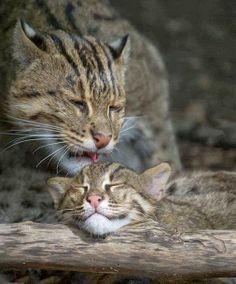 Endangered Fishing Cats