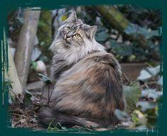 IG Hallo Norweger - Interessengemeinschaft Norwegische Waldkatzen - Züchter - Kitten