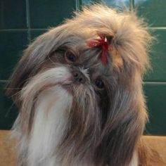 Brushing a Shih Tzu Coat is not difficult as long as it is done frequently so mats cannot set. Discover some of the tricks of the trade.