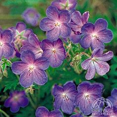 The Border selections of Cranesbill Geranium are valuable fillers for colour in early to mid summer. This species forms a mound of bold green foliage, bearing large violet-blue flowers with a reddish cast. Plants need. Shade Perennials, Flowers Perennials, Shade Plants, Cranesbill Geranium, Plant Zones, Garden Oasis, Plant Needs, Himalayan